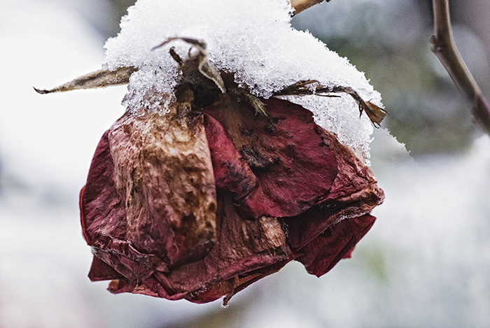 Verdorde roos onder de sneeuw