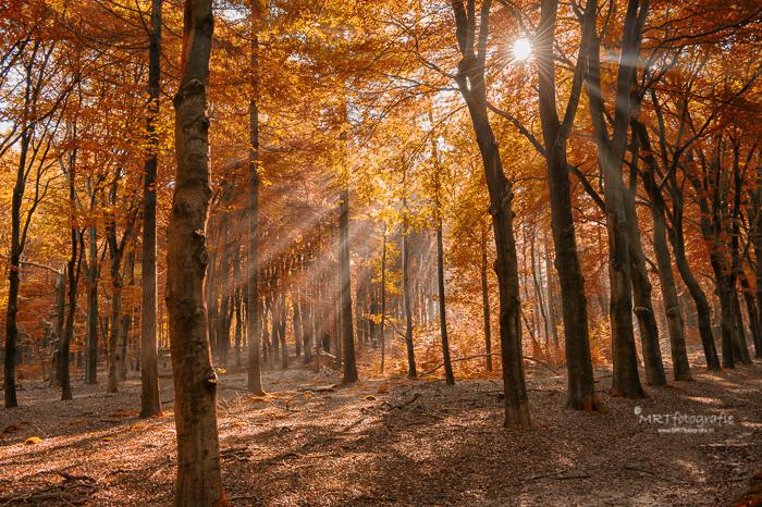Zonneharp, zonnestralen door oranje gekleurde gebladerte van het herfstbos in Amerongen
