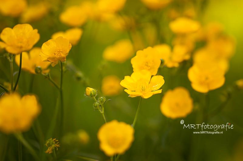 Boterbloemen, macrofotografie
