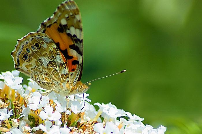 Vlinder de kleine vos  (Aglais urticae)