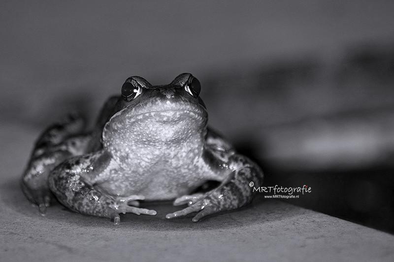 zwart-wit fotografie: Groene kikker
