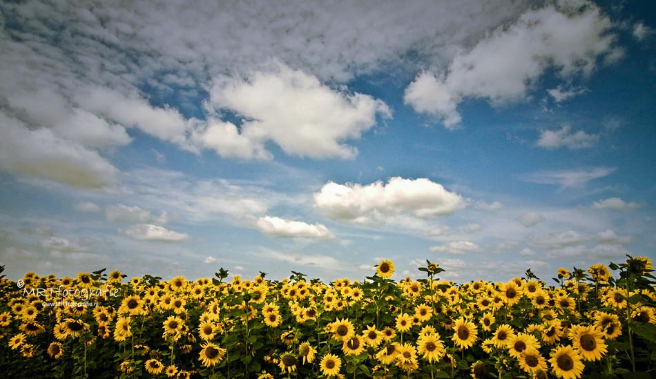 Zonnenbloemen, De Engh, Soest