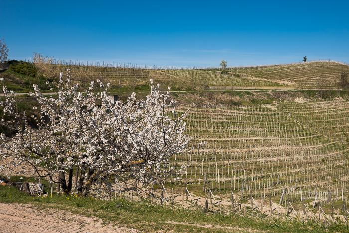 Bloesemboom in de Toscaanse heuvels waar de druivenranken nog kaal zijn.