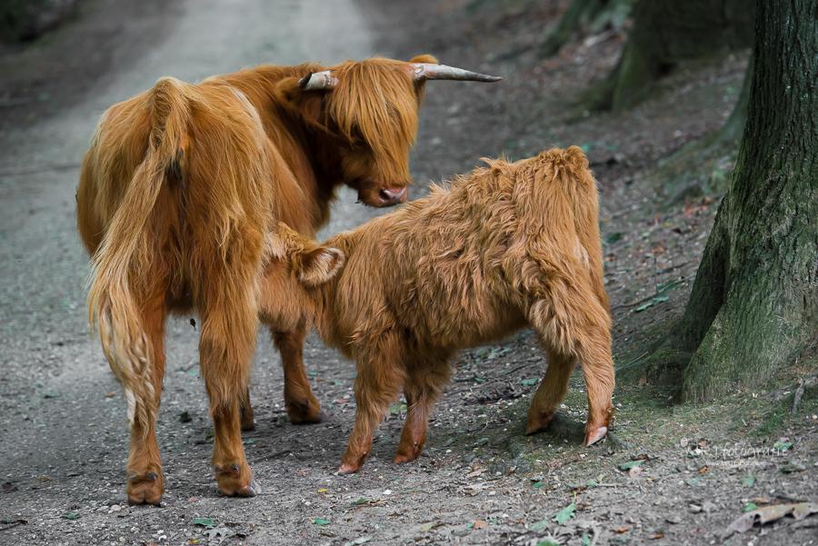Schotse Hooglanders, moeder kijkt naar drinkend kalf, Posbank
