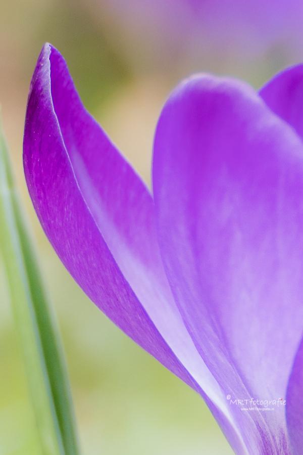 Macro bloemblad krokus