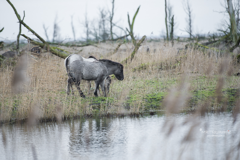 Konikpaarden, OostvaardersPlassen
