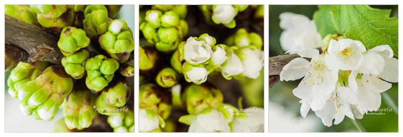 drieluik van bloesemknop naar bloem