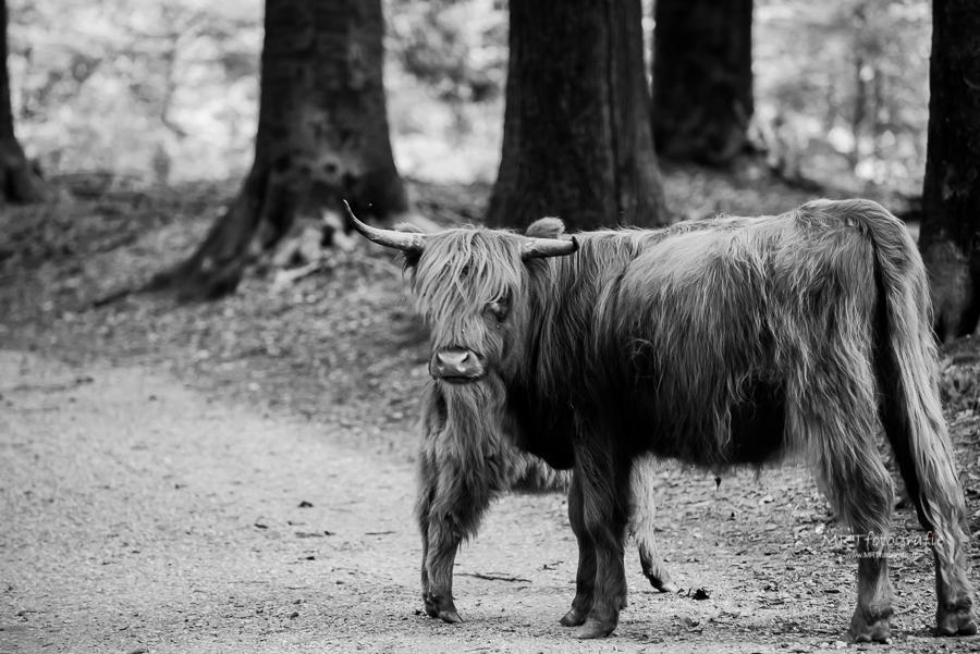 Zwart-wit opname Schotse Hooglander