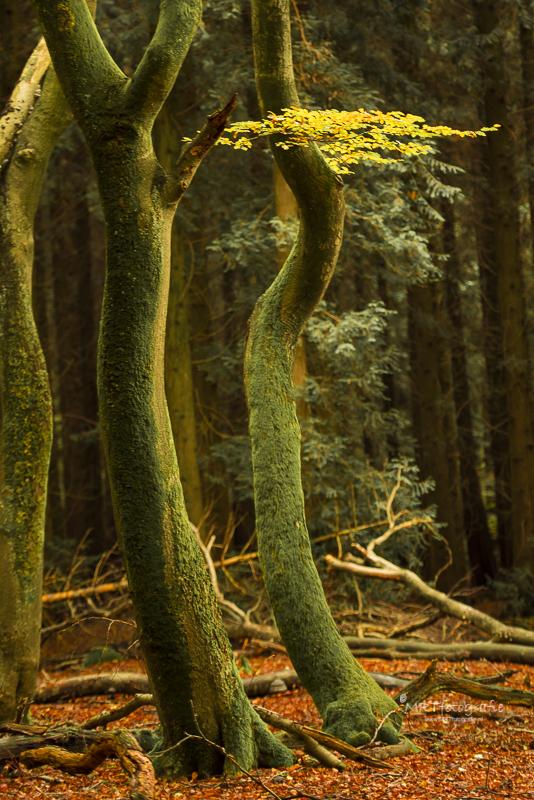 Speulderbos, of tewel het bos van de dansende bomen. herfst