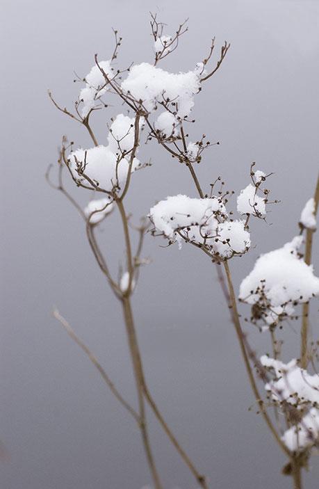 Sneeuwresten op verdroogde takken en zaden
