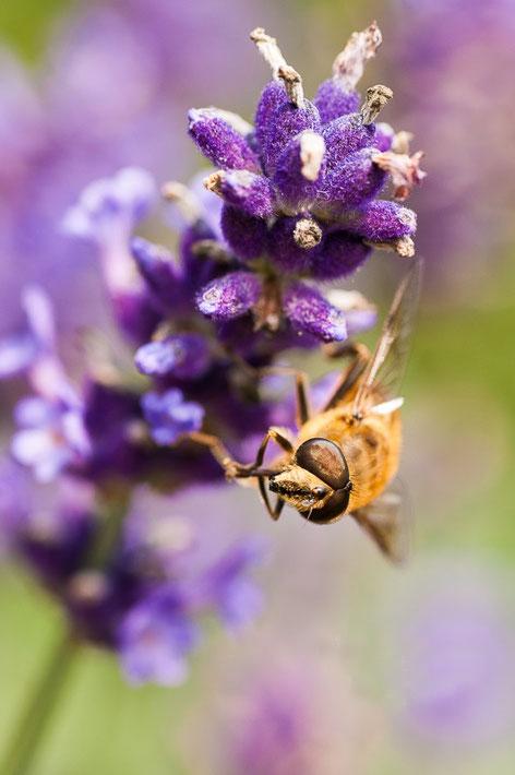 Bij op lavendel, macrofotografie