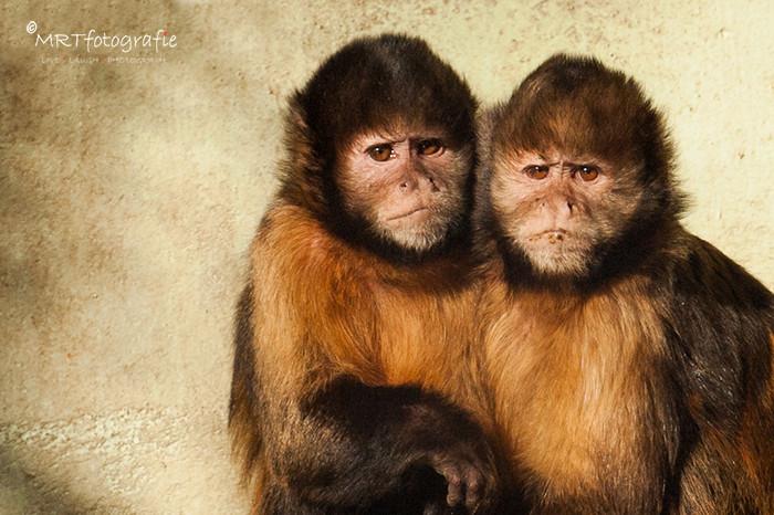 2 geelborst capucijneraapjes. Uitleg scherpstelling met hamdmatige- en autofocus