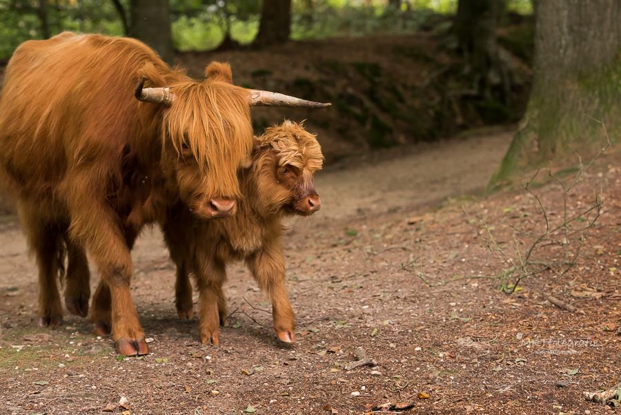 Moeder en kalf Schotse Hooglander