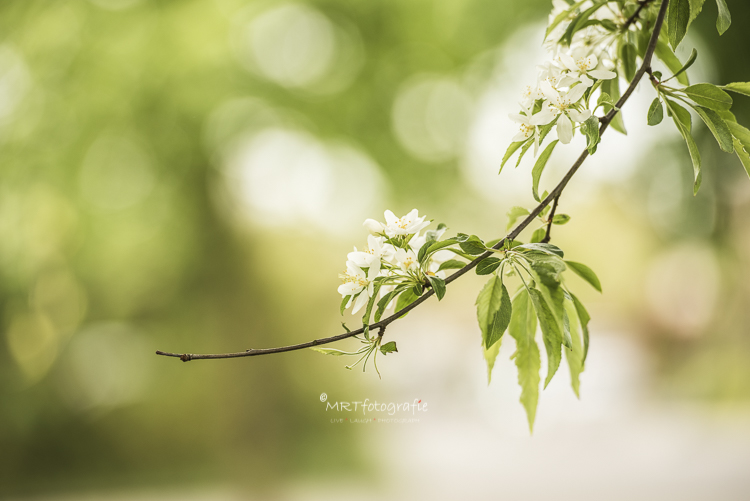 Voorjaar, nieuw kastanjeblad aan de bomen. Macrofotografie
