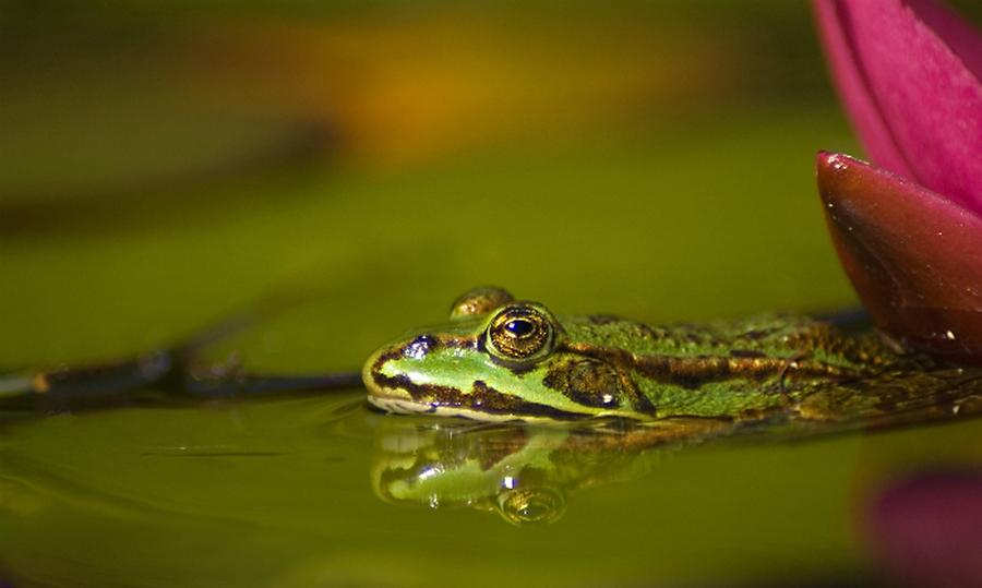 Groene kikker en reflectie