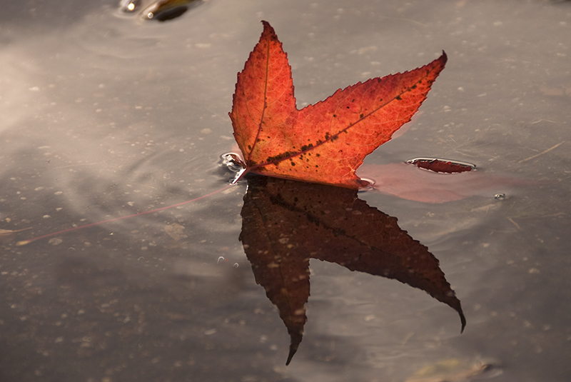 Rood gekleurd espenblad met reflectie in plas water