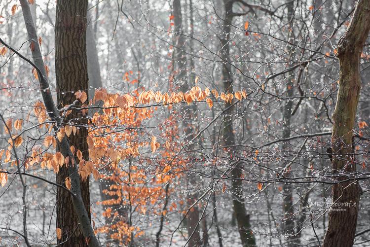 Druppels aan de takken van de ontdooide sneeuw in Leuvenumse Bos