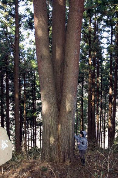以前はこのように杉に囲まれていて、この樹を見つけることが難しかった
