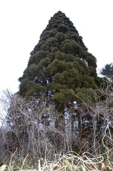 途中に大きなスギの巨木がありました