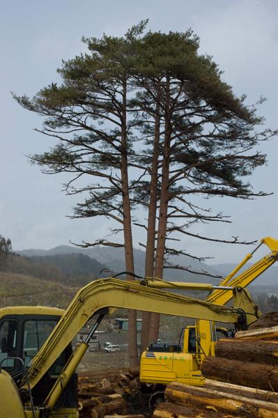 まわりの杉全部を伐採していました。