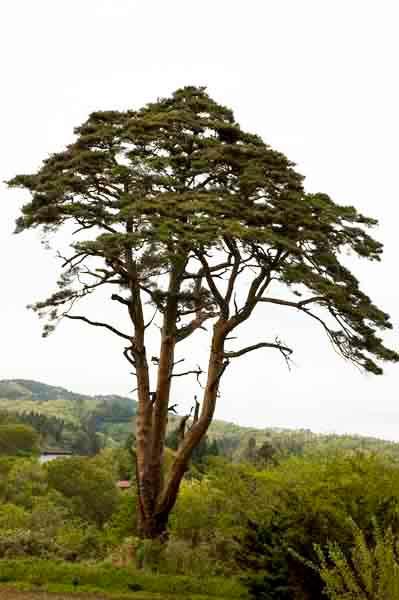2011年5月22日 幹周3.85m 樹高29m 推定樹齢100年