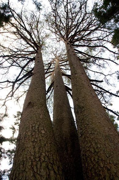 山ノ神として祀られているアカマツの名木です。