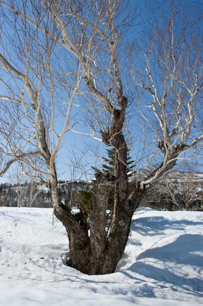 笠松峠付近でダケカンバの三頭木を見つけました