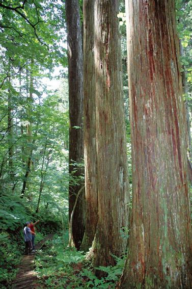 こういう天然保護林の杉が3000本もあり、木道が完備されている