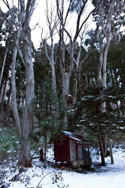 五重塔を建てた津要和尚の墓の周りにはアサダと思われる樹が10本ほど墓を囲むように立っていました。3メートルはないようですが結構大きいです。