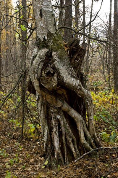 宇宙人のようなシラカバの樹で、クリの樹に乗っかっています。            どうしたらこうなるのでしょう。