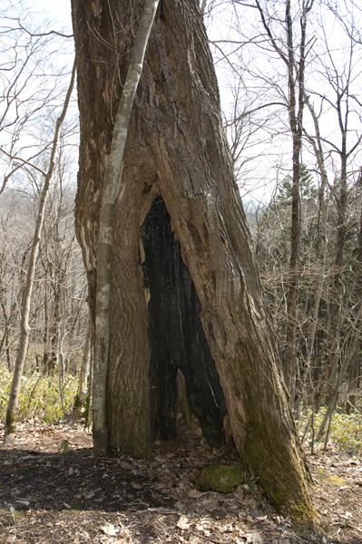 裏の雷で焼けた跡、何百年も生きていると高い木は必ずと言っていいぐらい雷が落ちている。それを耐えて生き抜いた樹だけが巨木として残る。ある意味神様に選ばれし巨木だ。