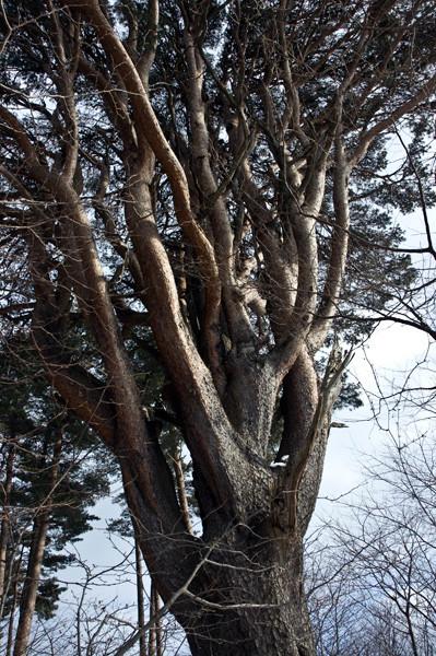 三頭木のアカマツです