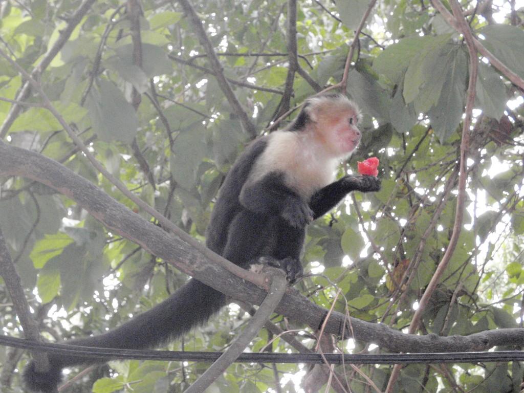 Mono Cariblanco