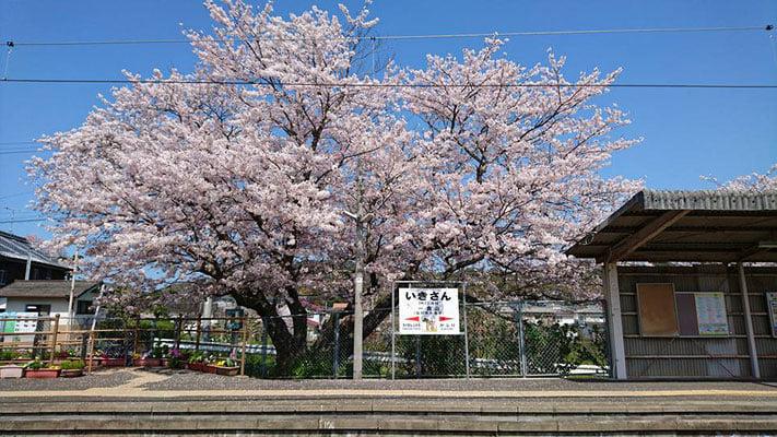 春の桜 Cherry Blossoms in Spring