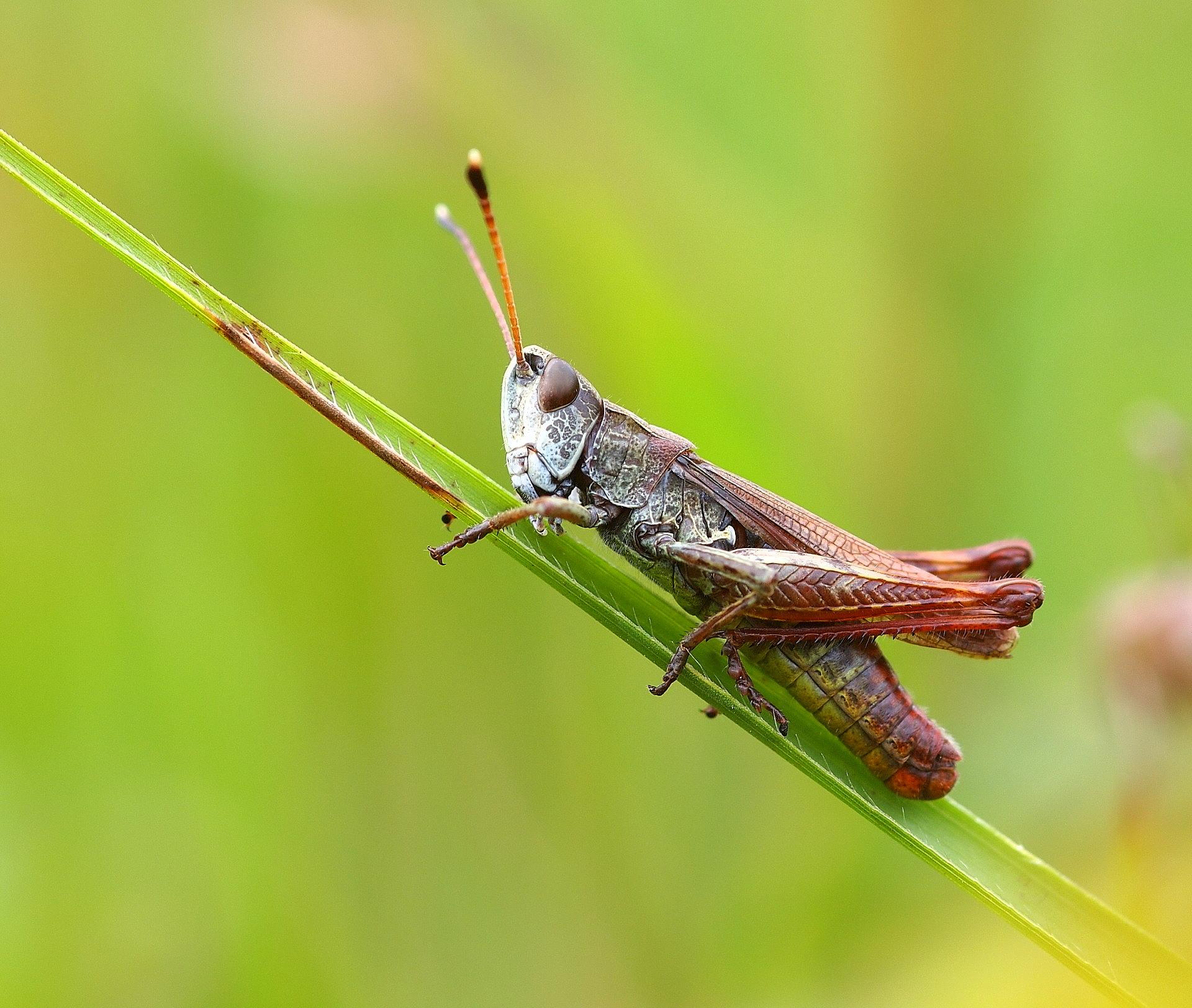 Die rote Keulenschrecke ist ein Bewohner der Heide