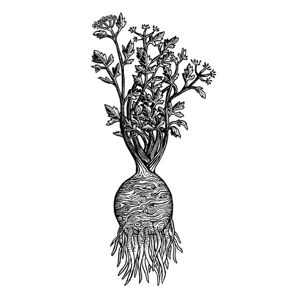 Nina Georgiev Illustration Selleriewurzel