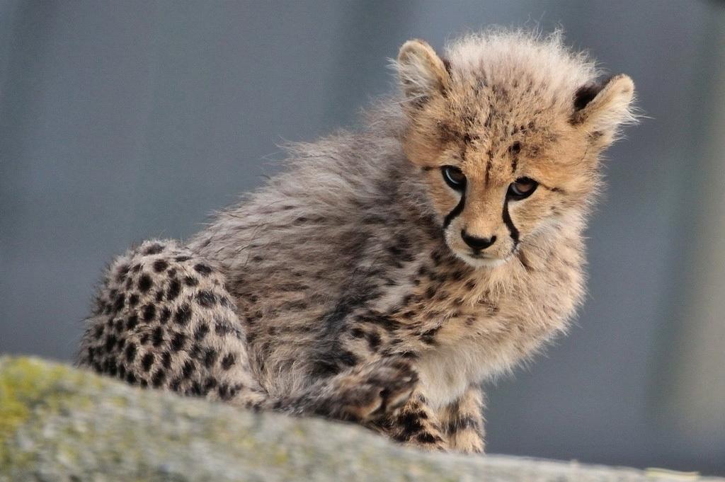Junger Gepard, Zoo Basel