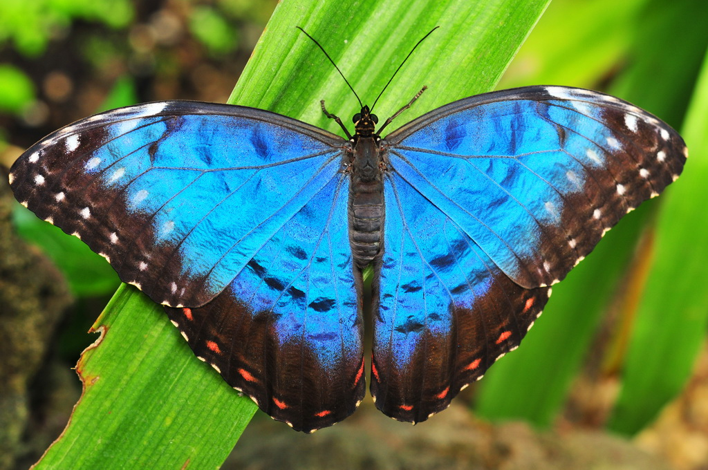 Blauer Morpho (Morpho peleides), Papiliorama Kerzers (BE)