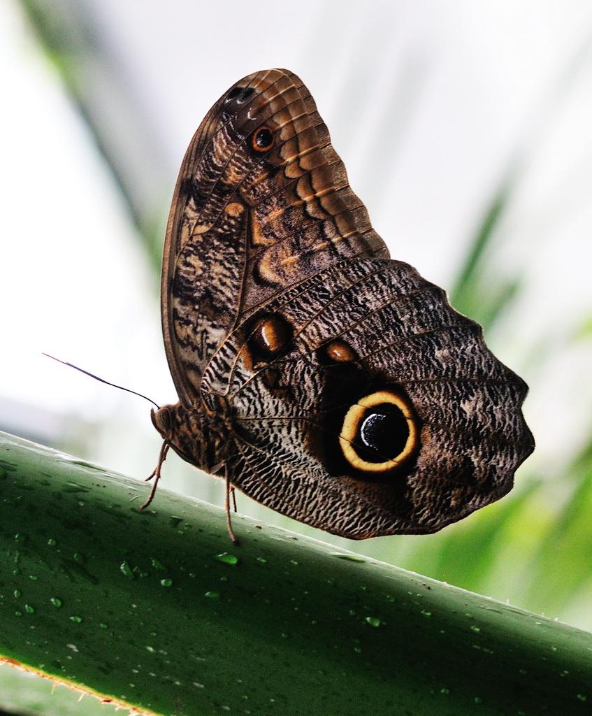 Eulenfalter (Noctuidae), Papiliorama Kerzers (BE)