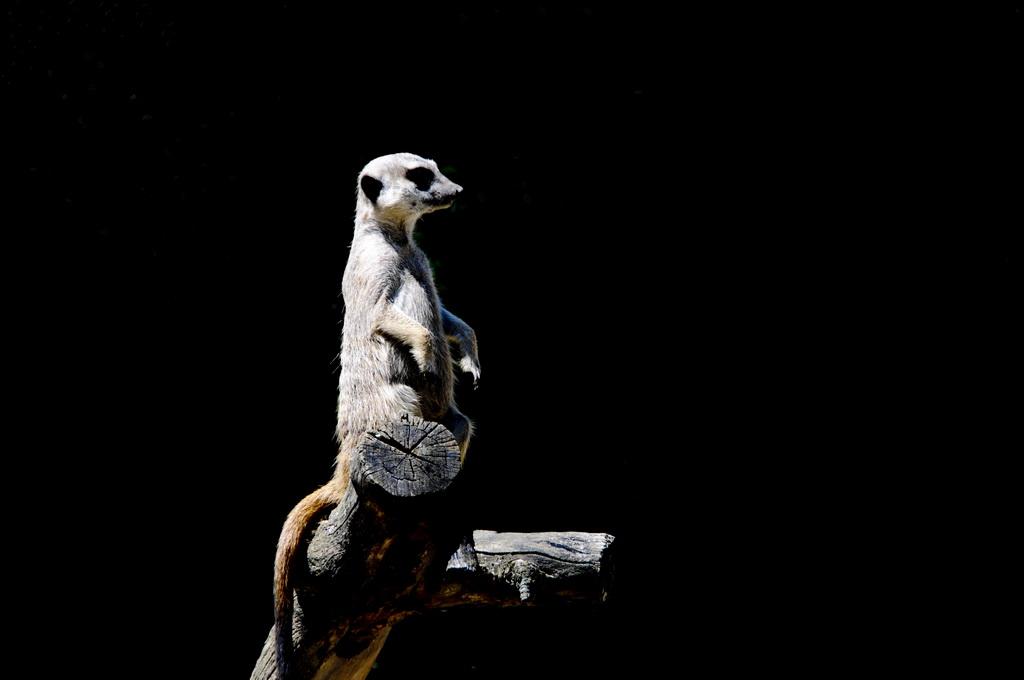 Erdmännchen, Zoo Basel