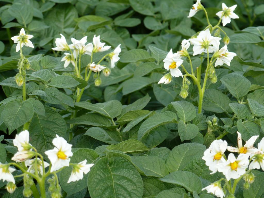Die Kartoffelblüte im Juni