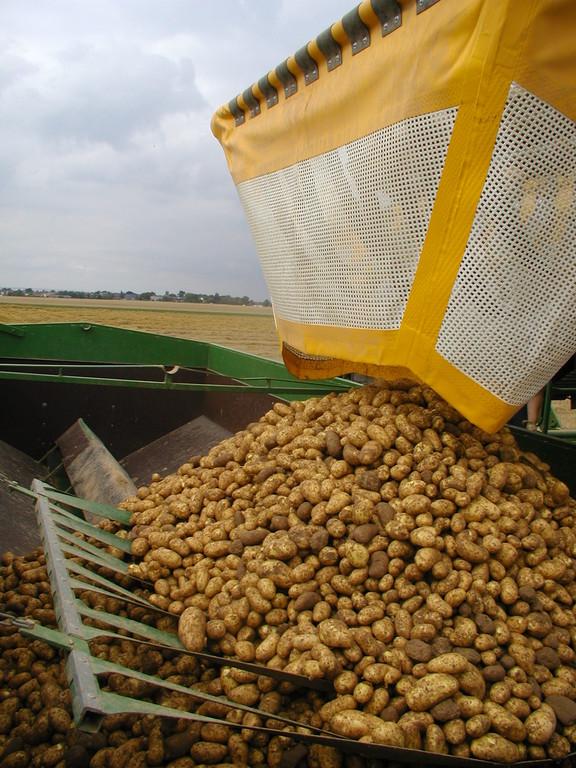 Das schonende Befüllen des Anhängers mit erntefrischen Kartoffeln