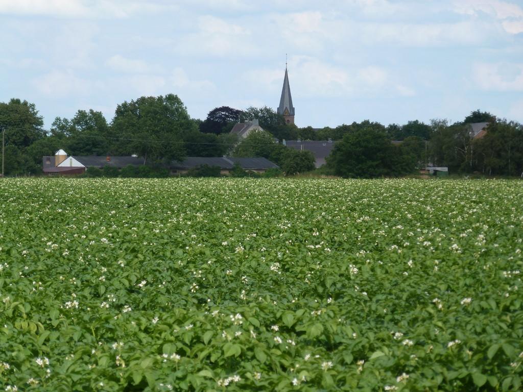 Ein blühendes Kartoffelfeld