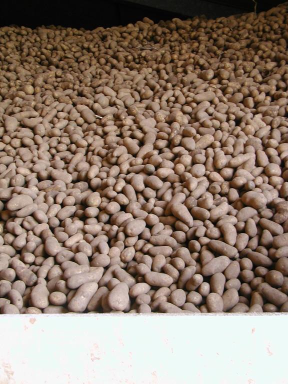 Die Kartoffeln werden im Lager auf einem Haufen bei konstant niedrigen Temperaturen schonend gelagert
