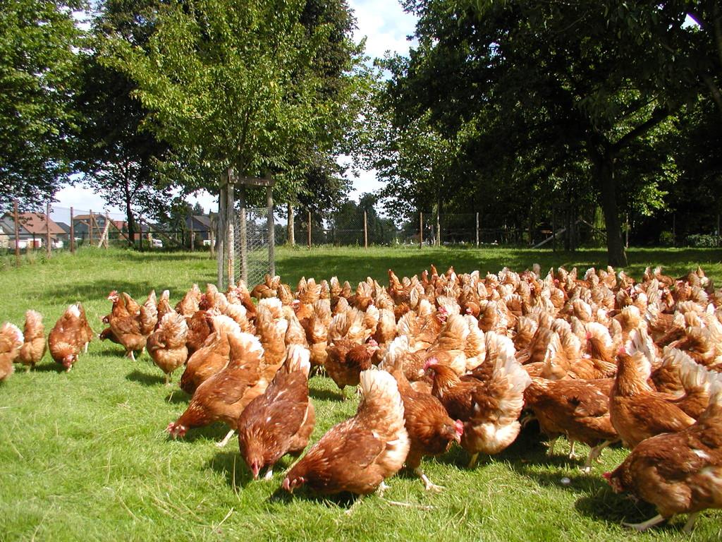 Freilandhühner auf dem Hermannshof