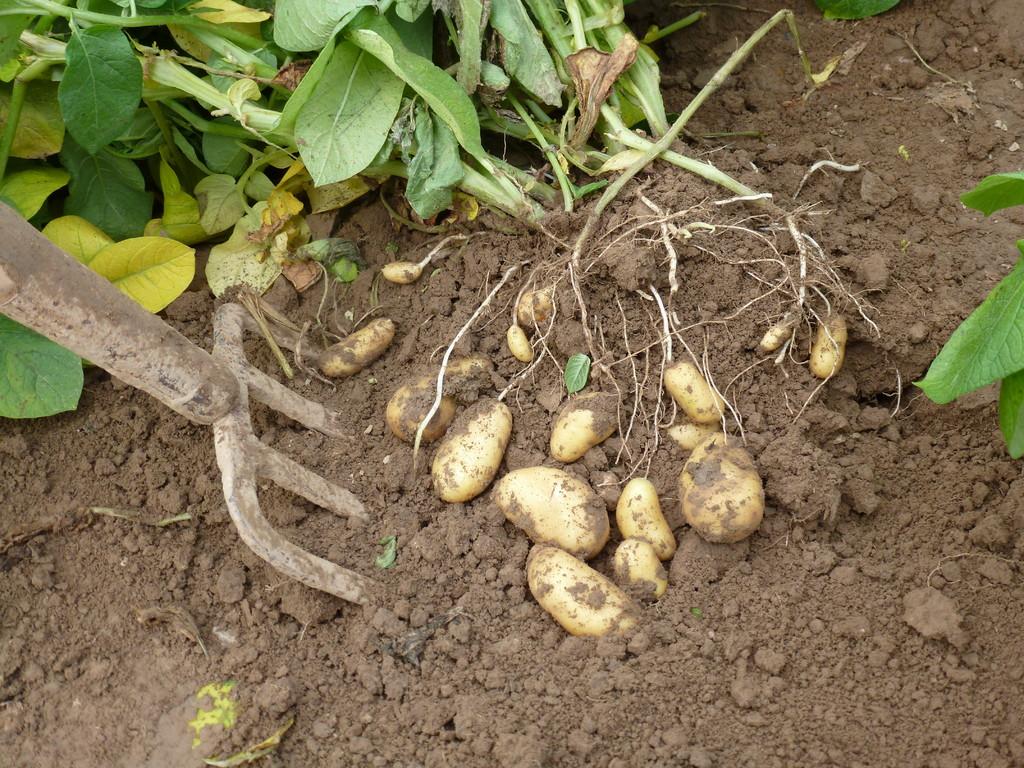 Eine Kartoffelprobe