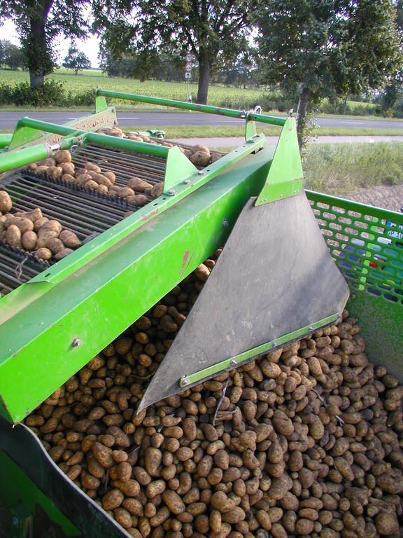 Kartoffeln laufen über ein Siebband in den Kartoffelbunker des Roders