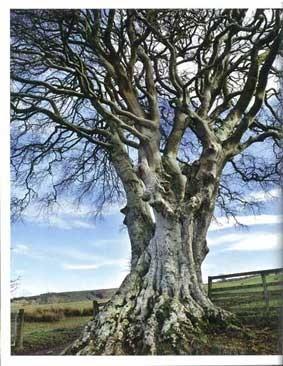 滑らかな木肌、優雅な枝ぶりでみごとな景観を作るブナは、薪や家畜の寝床、石鹸やガラスの原料にも使われたという