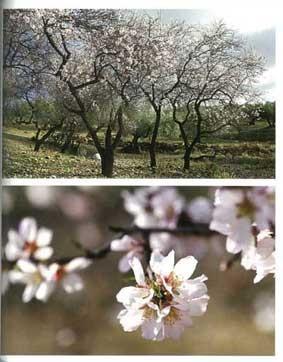 地中海から西アジアにかけてオリーヴに並び親しまれるアーモンド。ナッツとして、また粉やミルク、オイルなど多彩に利用されている