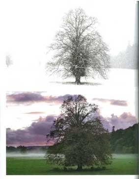 ドイツではリンデと呼ばれるライムは、香りがよく街路樹として愛されている。教会の彫刻やイコン画に、また靱皮繊維も利用された
